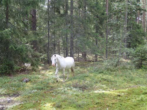 Vilda hästar i skogen!