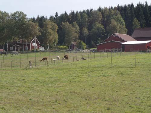Hästar, kor och här Alpacor, allt får man se i trakten av Gråbo!