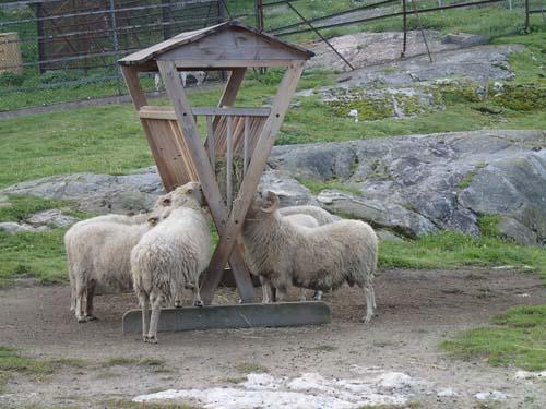 Det är gott om fårskallar i denna trakt....