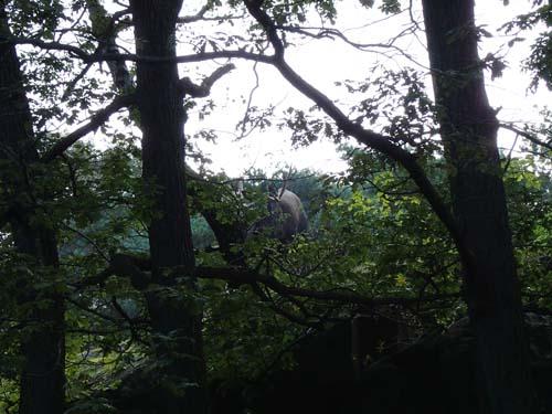 Är det inte skogens konung som lurar mellan träden?