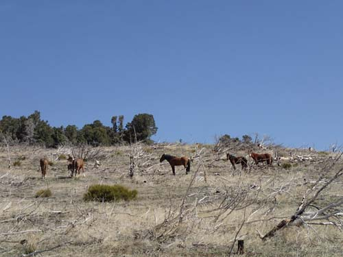 Vildhästar