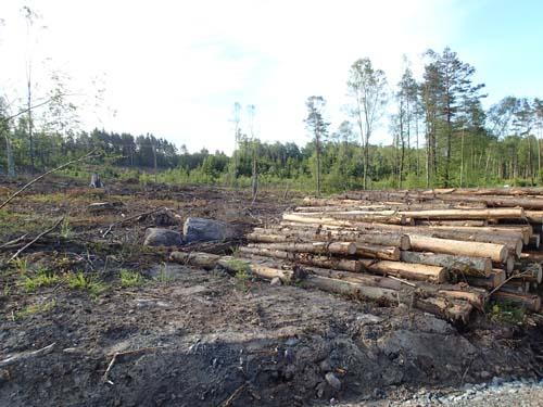 Här hade trädmugglare varit framme! Men de hade hejdat sig innan de nådde min cache!