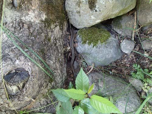 Här försvinner huggormen in i bland stenarna!