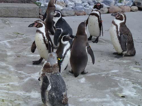 Ett ruggande-mugglar-pingvin-event