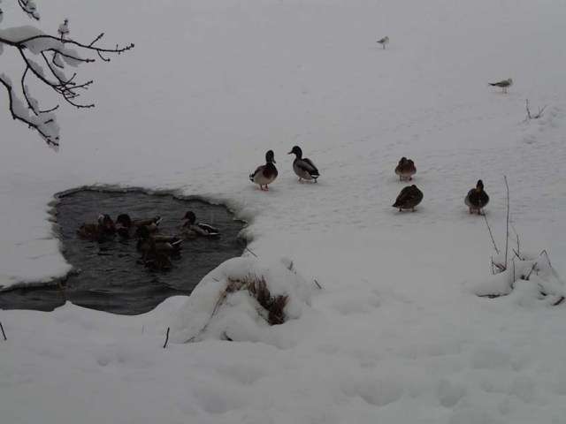 Men för fjäderfäeliten fanns ett eget litet hål i isen!
