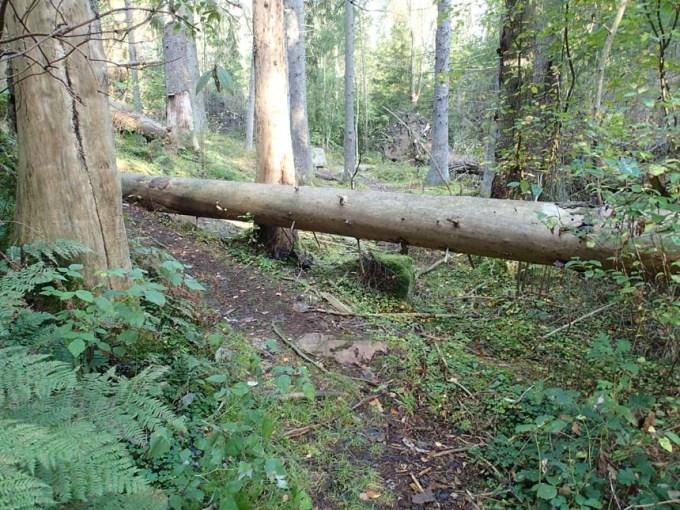 Fallet träd
